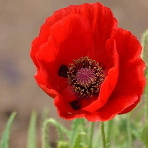 Ultrey Samenshop - 100 Stück Gartenmohn Samen Mohnblumen Klatschmohn Selten Staudenblumen Saatgut winterhart mehrjährig für Garten Balkon/Terrasse