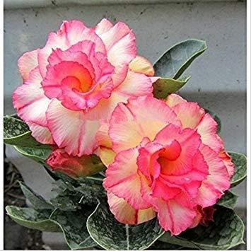 Fash Lady 100% de véritables 2 pcs graines de rose du désert, graines d'adénium bonsaï fleurs ornementales succulentes Plante pour jardin et balcon couleurs 14