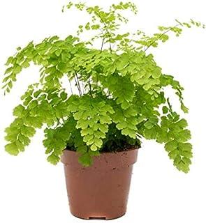 Helecho Adiantum Raddianum Fragrans Altura 30cm en Maceta de 12cm de Diámetro Planta Natural
