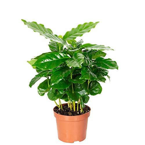 Kaffeepflanze - Coffea Arabica - Höhe ca. 20 cm, Topf-Ø 9 cm