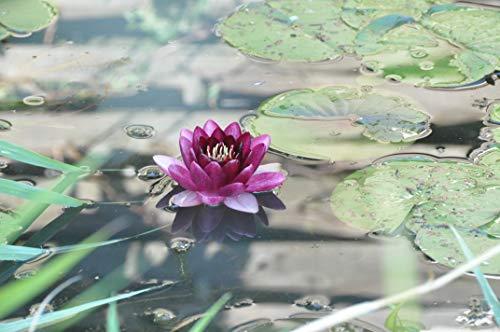 Koi-boerse Nymphea Black Princes in Lila Seerose nur für Kurze Zeit, sehr selten.