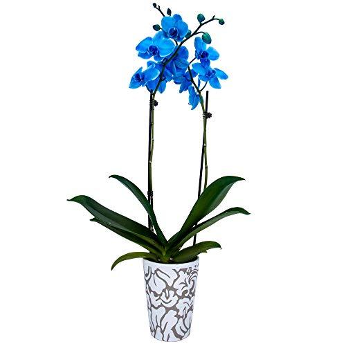 DecoBlooms Blue Premium Double Stem Orchid
