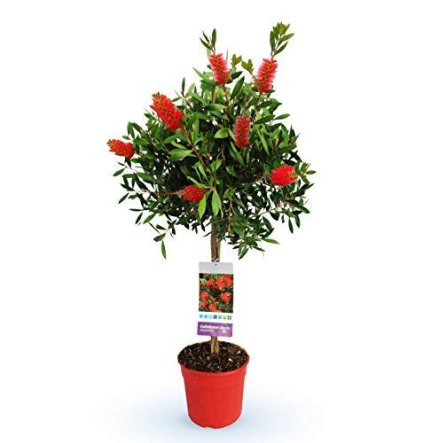 Blume von Botanicly – Zylinderputzer – Höhe: 110 cm – Callistemon Laevis