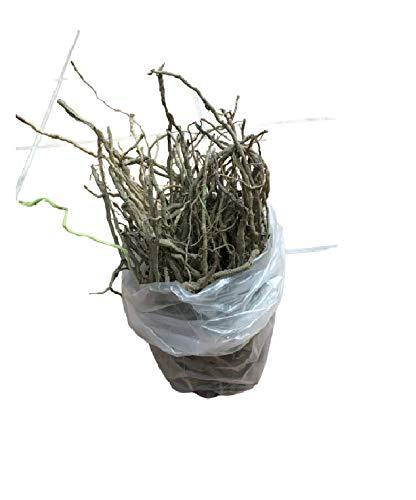 10 Pz Zampe Di Asparago Bianco Germogli Perenni Pronti Da Piantare Pianta Semi Asparagi
