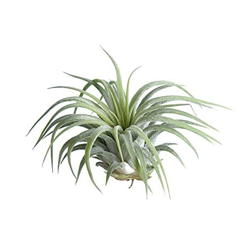 Tillandsia Ionantha Verde Planta del Aire Color Verde Clavel del Aire