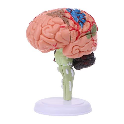 angwang Modelo anatômico do cérebro humano desmontado em 4D, anatomia, ferramenta de ensino médico, estátuas, uso escolar