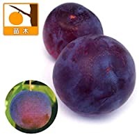 スモモ(プラム)2種受粉樹セット:貴陽(キヨウ)とハリウッド[苗木]