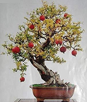 VISTARIC 50PCS Bonsai Olive Bonsai Baum (Olea europaea) Samen, Bonsai Mini Olivenbaum, Olive Bonsai Frische exotische Baumsamen