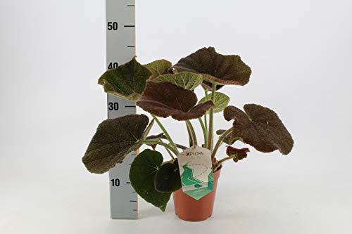 Zimmerpflanze von Botanicly – Eisenkreuz-Begonie – Höhe: 30 cm – Begonia Masoniana River