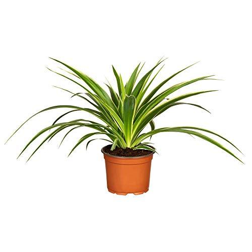 Florado Grünlilie, Grünpflanze, echte Zimmerpflanze, Pflanze, Topfgröße 12cm