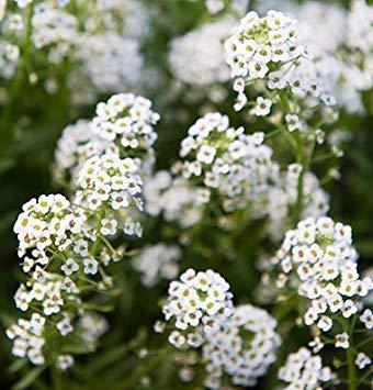 BloomGreen Co. Graines de fleurs: Doux Alison Jardin Hedge Funds [jardin Graines Eco Pack] Graines de plantes
