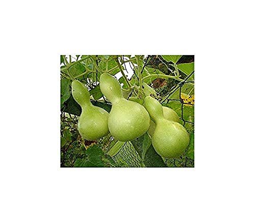 Zier-Kürbis - Kalebassen-Kürbis Birdhouse - Flaschenkürbis - 6 Samen