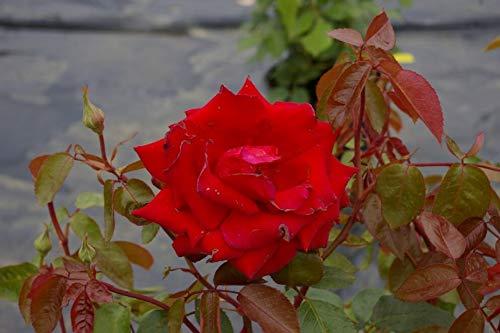 Edelrose Ingrid Bergmann - Rosa Ingrid...