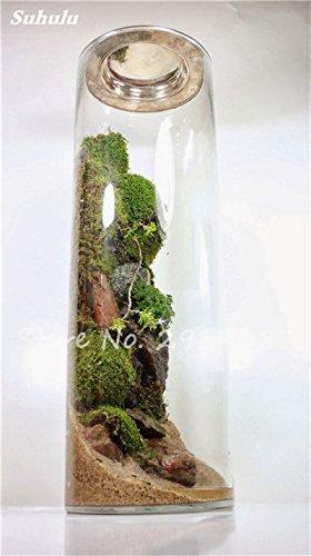100 Pcs rares mousse verte Graines exotiques Graines Bonsai Moss Belle Moss Boule décorative Jardin créatif herbe Graines Plante en pot 4