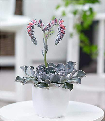 BALDUR-Garten Echeveria Cheyenne,1 Pflanze Sukkulente blühende Zimmerpflanze