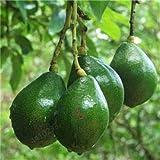 GETSO 2 pc Bonsai Avocado Delicious Dolce Albero da frutto Facile da Coltivare per la Verdura Giardino della casa Organic Pianta in Vaso Regalo per i Bambini: 6