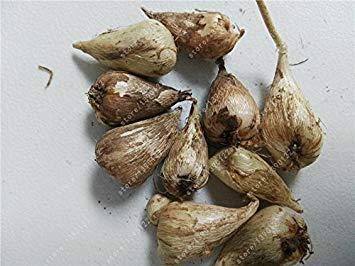 GEOPONICS Echte Freesie Zwiebeln, n Freesie, Indoor-Topf n Orchideen, Freesie Rhizome nzwiebeln, ruhig n Hausgarten Pflanze-2s samt nur