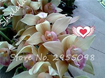 A bag = 200pcs Cymbidium Orchid, Multi Color Cymbidium Orchid Plant, Bonsai Flower Seeds,Natural Growth,Plant for Home Garden 15