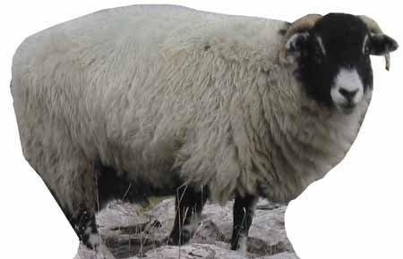 Sheep - Wildlife/Animal Lifesize Cardboard Cutout / Standee / Standup