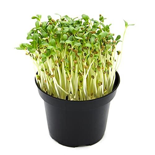 Italian Sprout - Semi per microgreens - Fieno greco Perseo - 500 gr.