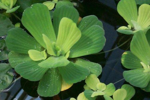 Mühlan Wasserpflanzen 3 Grosse Muschelblumen für den Gartenteich