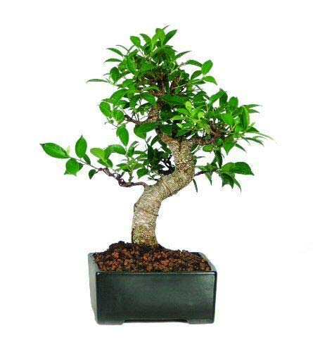 Live Plant -Golden Gate Ficus Bonsai Tree Tropical Live Plant Beauty Indoor 7 Years Old