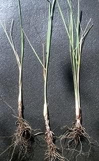 5 Lemongrass Plants 15