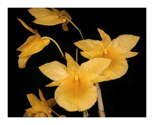 Dendrobium dixanthum - orchidée - 100 graines