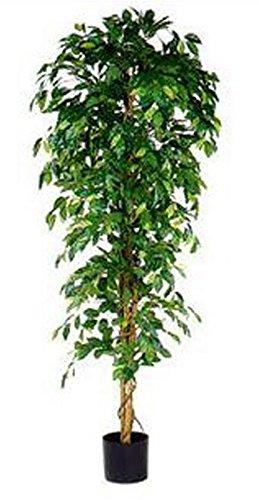 Hygiëne-shop Top-Select Ficus Benjamina 210 cm, exclusieve bloempot