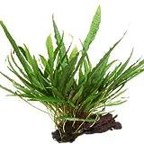 AquaPlants Pflanzen auf Wurzeln - Javafarn - Microsorum pteropus Grown on Mangrove Wood