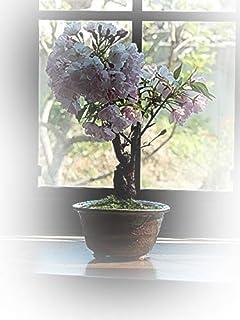 母の日鉢花限定 さくら盆栽 パッと咲く咲く 桜盆栽で 自宅でお花見を ギフト対応可能です