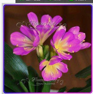 1 Pcs Bonsai Fleur Clivia Fleur cafre Lily réel Seeds Bricolage Jardin de pot de fleurs