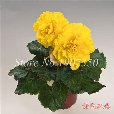 Shopmeeko Graines: 100 Pcs/Mitigé Begonia fleur en pot de bonsaïs d'intérieur Decoratie beau jardin mur usine Décoration pour l'arbre de Noël: 11