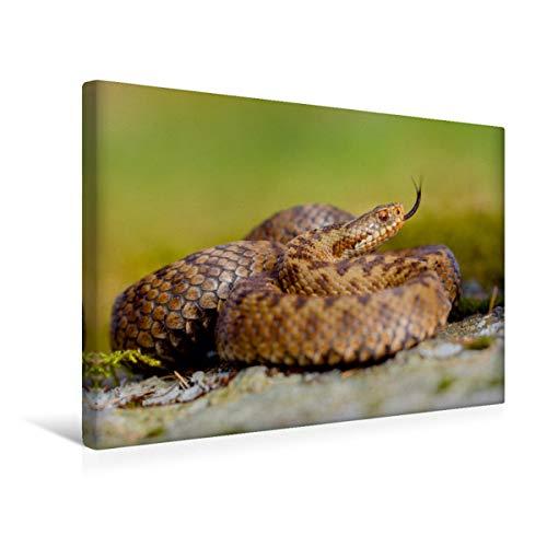 CALVENDO Premium Textil-Leinwand 45 cm x 30 cm quer, Kreuzotter   Wandbild, Bild auf Keilrahmen, Fertigbild auf echter Leinwand, Leinwanddruck: Züngelnd Tiere Tiere