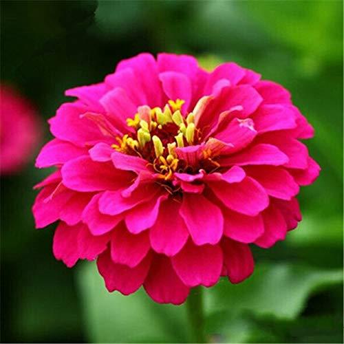 Ferry 50pcs Seltene Zinnia Bonsai Staude Blütenpflanzen Topfgarten-Blumen-Blüte g Chinesische Blumen-Garten-Dekoration