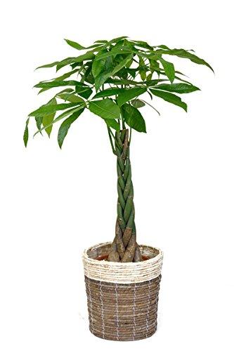【鉢カバー付】観葉植物 パキラ 8号鉢