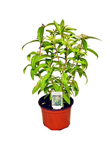 Zitronenstrauch, Zitronenverbene, Aloysia citrodora, Kräuter Pflanze