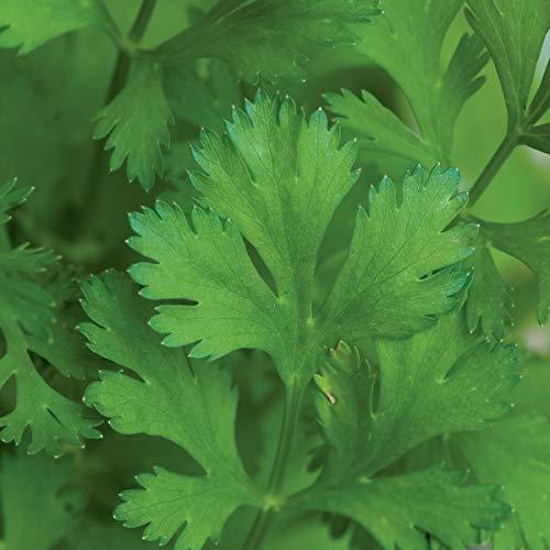 Burpee 'Coriander Cilantro 500 Seeds