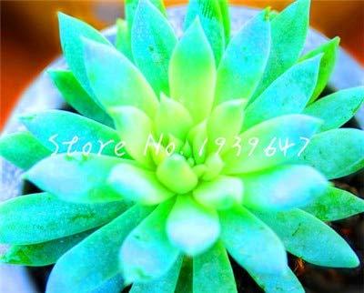 SANHOC Nouveau 2019! 100 pcs charnus Plantes de succulentes colorées Pseudotruncatella Succulentas bonsaïs Pierre Brute lithops Fleurs: 6 Potted