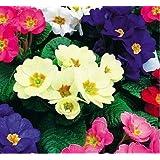 50個/袋プリムラシード12kinds、庭の植物、屋内と屋外の花の種子、オンリーユーのための大きなプロモーションのための種子