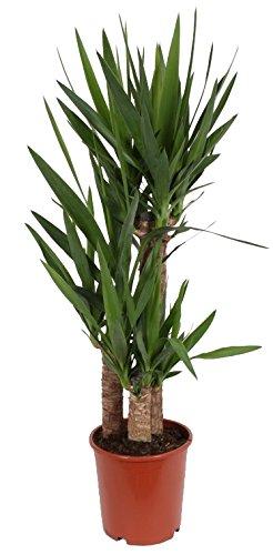 3er Tuff Yucca-Palme, Palm-Lilie, (Yucca elephantipes), 3 Stämme, ca. 95 cm hoch, Zimmerpflanzen, Kübelpflanzen, Palme
