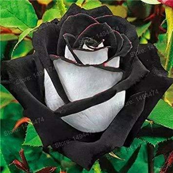 Vistaric 200 pcs Rare Mixte Couleur Rose Graines arc en ciel rose graines Plante vivace fleurs bonsaï pot Maison Jardin Décoration Graines De Fleurs Jaune Clair