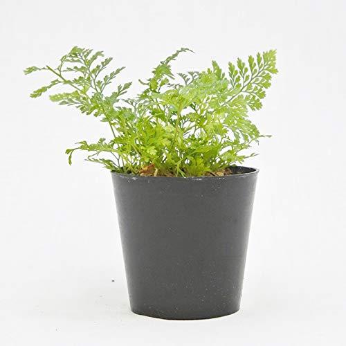 コケのインテリア コケリウム テラリウム シダ植物 山野草 苔盆栽 苔玉 トキワシノブ