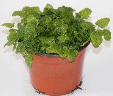 Melisa (Maceta 10,5 cm Ø) - Planta viva - Planta aromatica