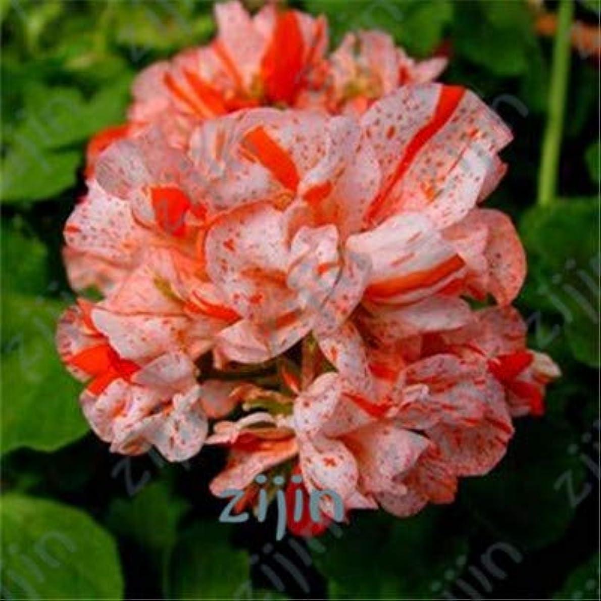 エール偽善接続詞100個ゼラニウム盆栽、庭の多年生フルールGraineゼラニウム、ペラルゴニウムゾナール盆栽、観葉植物ゼラニウムの花の穀物:ダークカーキ