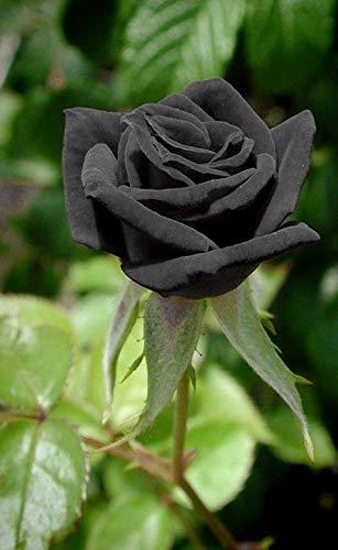20+ Rare Black Rose Seeds Beautiful Flower Seeds Home Garden Bonsai