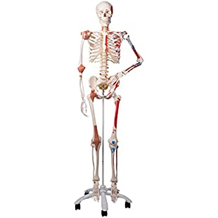 3B Scientific Human Anatomy - A13 Skeleton Model with Muscles and Ligaments