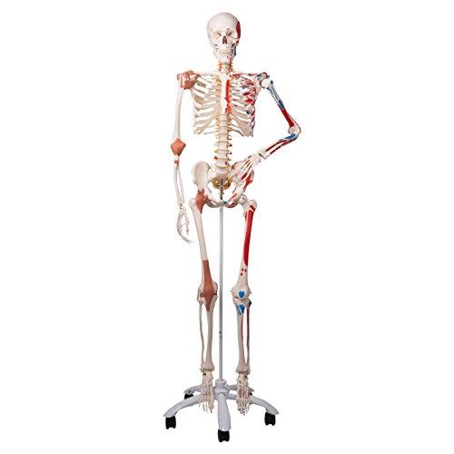3B Scientific Menschliche Anatomie Skelett Sam -mit Muskeldarstellung, Bandscheibenvorfall, flexibler Wirbelsäule & Gelenkbändern inkl. kostenloser Anatomiesoftware - A13 lebensgroß - 3B Smart Anatomy
