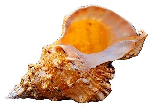 CHQUAN 1 Joyería de Concha de marisco Grande, joyería de Concha, artesanías de Concha Natural, Banquete de Bodas, Accesorios para el hogar, Regalos, Concha Exquisita, joyería de Concha