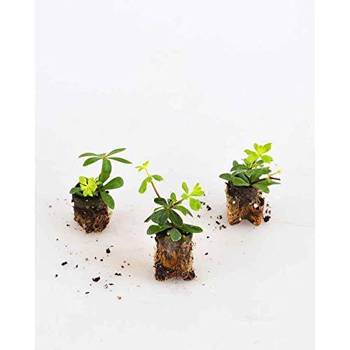 Kräuterpflanzen - Waldmeister/Sterntaler - Galium odoratum - 3 Pflanzen im Wurzelballen